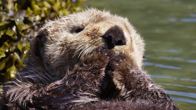 cu large sea otter pup floating and grooming its forepaws - alga marina video stock e b–roll
