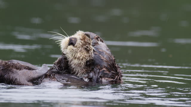 cu large sea otter pup floating and grooming its head in light rain - animals in the wild stock videos & royalty-free footage