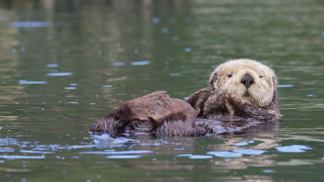 ws large sea otter pup floating and looking at camera - floating on water stock videos & royalty-free footage