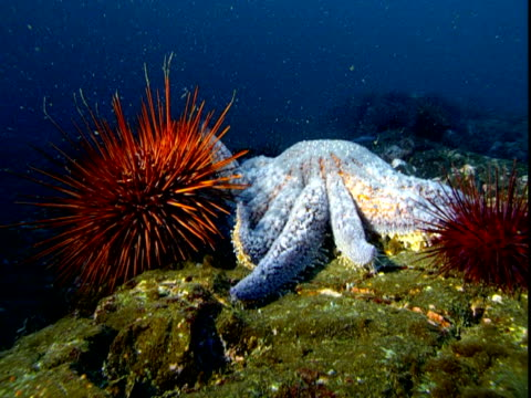 A large sea star moves next to red sea urchins on the ocean floor.