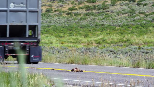 vídeos y material grabado en eventos de stock de un gran semi-camión conduce más allá de un perro de la pradera muerta (roadkill) en el medio de la carretera en wyoming en un día soleado - accidente de tráfico