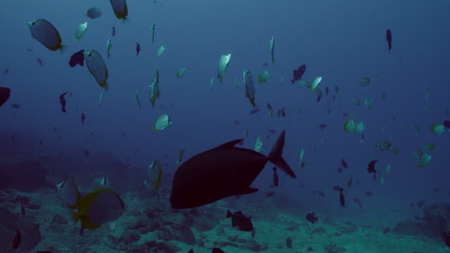 """large shoal of black triggerfish, ascension island - """"bbc natural history"""" stock videos & royalty-free footage"""