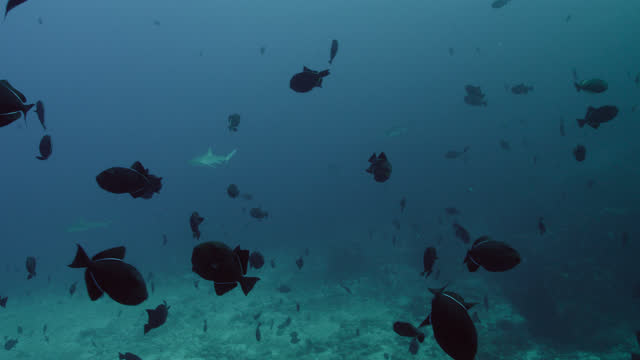 large shoal of black triggerfish, ascension island - caribbean reef shark stock videos & royalty-free footage