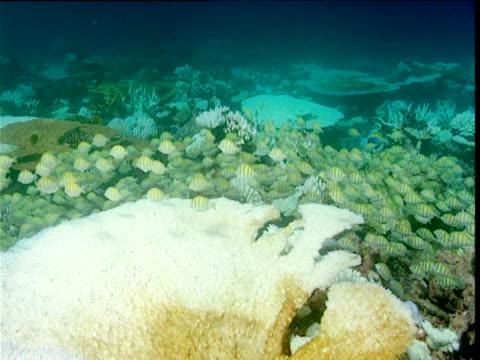 Large shoal of Convict surgeonfish swarms over bleached reef, Powder blue surgeonfish try to drive them away, Maldives