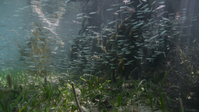 large shoal of fish swims through mangrove swamp, belize - sea grass plant stock videos & royalty-free footage