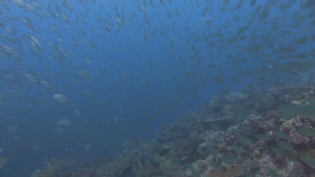 large shoal of fish - jack fish stock videos and b-roll footage