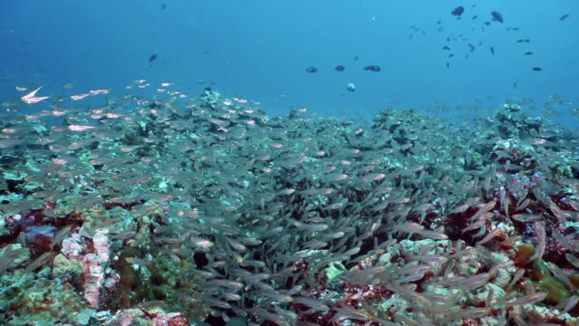large shoal of glass fish (parambassis ranga) on underwater coral reef the food chain - glass fish stock videos & royalty-free footage