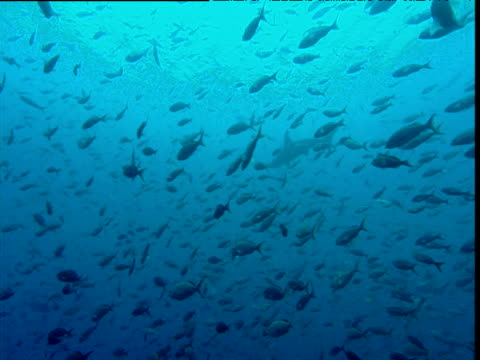 Large shoal of pacific creole fish (Paranthias colonus), Scalloped hammerhead shark swims past in background, Galapagos