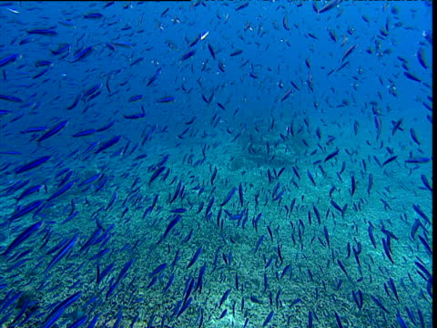 vidéos et rushes de large shoal of striated fusiliers dart past camera to avoid pursuing tille trevallies, sulawesi - évasion