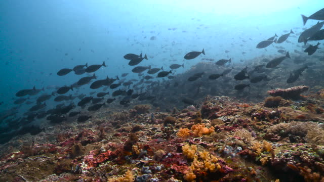 large shoal of surgeonfish swim over reef, bali. - reef stock videos & royalty-free footage
