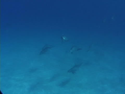 large social group of bottlenose dolphins - bimini stock videos & royalty-free footage