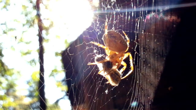 large spider eating his prey on a web - phobia stock videos and b-roll footage