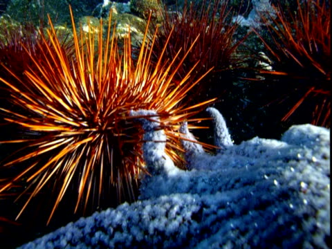A large sunflower sea star attacks a red sea urchin on the ocean floor.