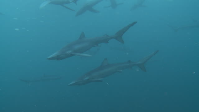 large swarm of blue sharks - swarm of insects stock videos & royalty-free footage