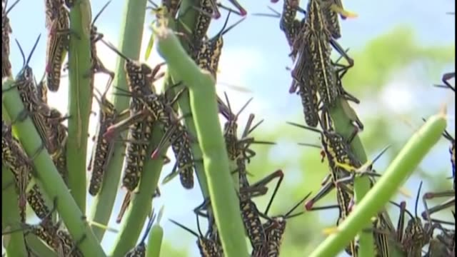large swarms of desert locusts are spreading through kenya after wreaking havoc in somalia and ethiopia posing a significant threat to food security... - east africa stock videos & royalty-free footage