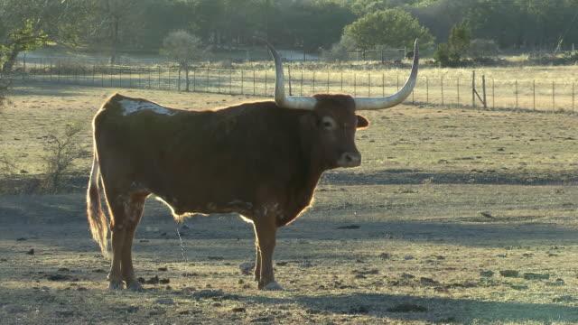 stockvideo's en b-roll-footage met ws pan large texas longhorn bull in profile / western texas, texas, usa - texas longhorn