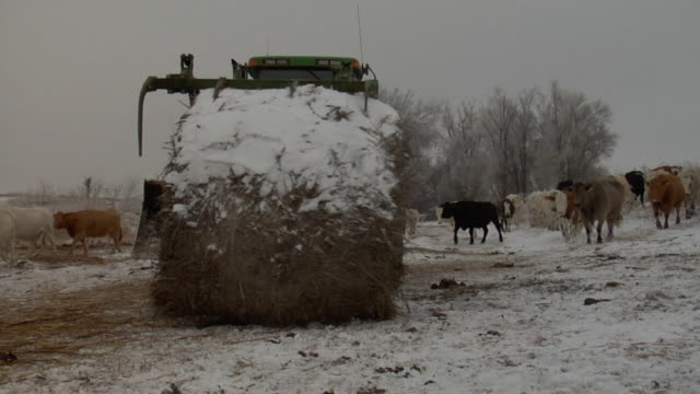 a large tractor delivers a large bale of hay to a herd of hungry stock cattle in the wintertime. - hay stock videos and b-roll footage