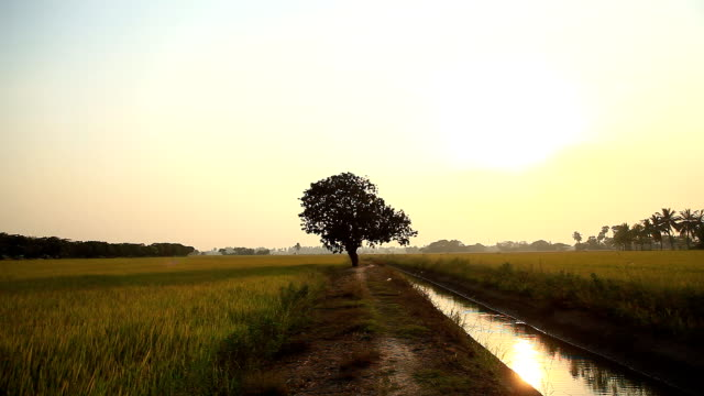 Large tree in the middle of rice fields.
