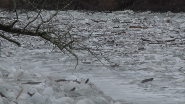Large tree limbs snapped by the force of thick slabs of ice sit on a frozen Housatonic River in New Milford Connecticut during a major ice jam event