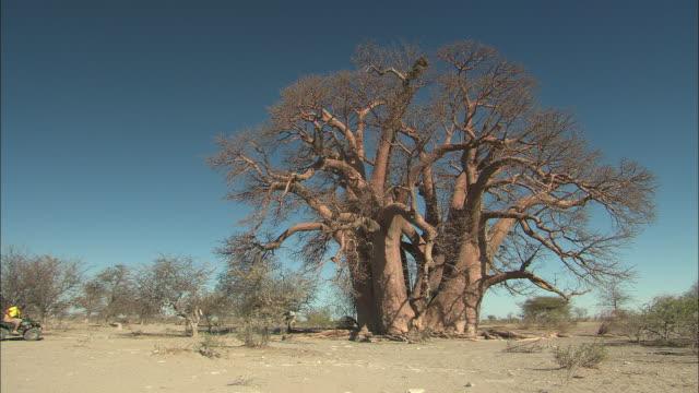 vídeos de stock, filmes e b-roll de a large tree overlooks the kalahari desert against a vivid blue sky. - deserto de kalahari