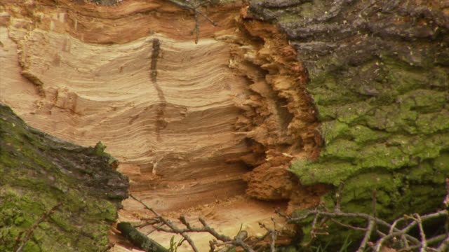 cu of large tree snapped by uk tornado. tornado damage, wind damage, england, uk - imperfection stock videos & royalty-free footage