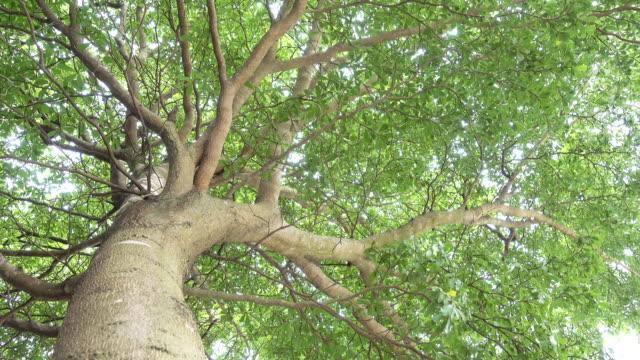 stort träd - grodperspektiv bildbanksvideor och videomaterial från bakom kulisserna