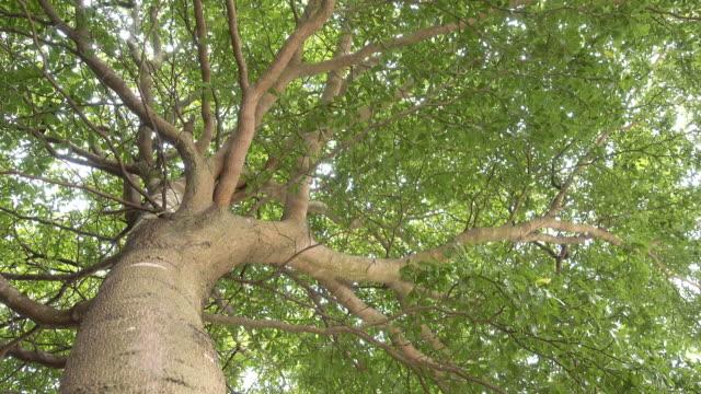 vídeos de stock, filmes e b-roll de grande árvore - low angle view