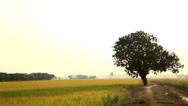 Grandes árvores, campos de arroz.