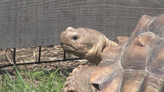 stockvideo's en b-roll-footage met large turtle 11 - hd 30f - dierlijke mond