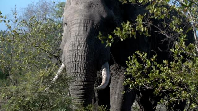 CU of large tusker elephant feeding, Kruger National Park, South Africa