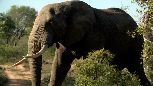 CU of large tusker elephant feeding, Kruger National Park, South Africa