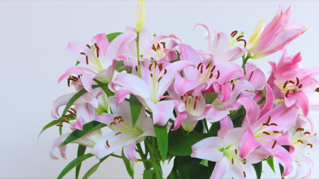 a large vase of oriental lilies explode into blossom from a bud. - david ewing stock videos & royalty-free footage