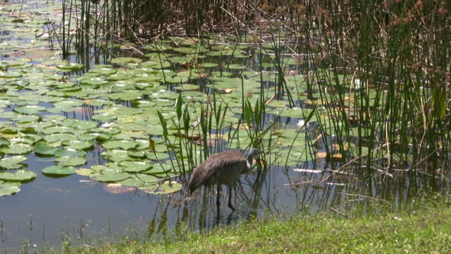 vídeos y material grabado en eventos de stock de gran ave infantil tomar una bebida de agua - water bird