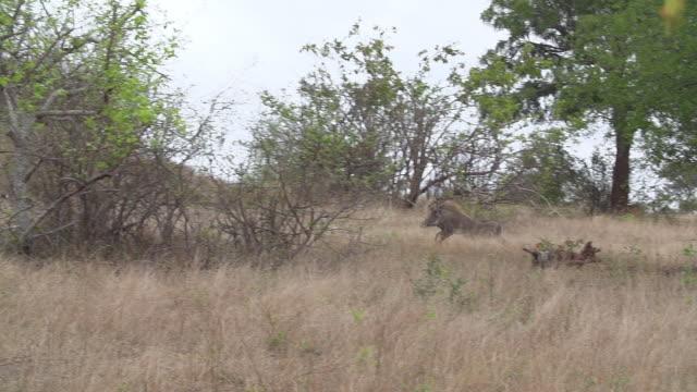 ws slo mo zi ts pan large warthog chasing sub adult cheetah across grassland / kruger national park, mpumalanga, south africa - national grassland stock videos & royalty-free footage