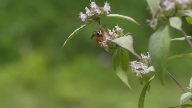 Large wasp flies from one mint flower to another HS