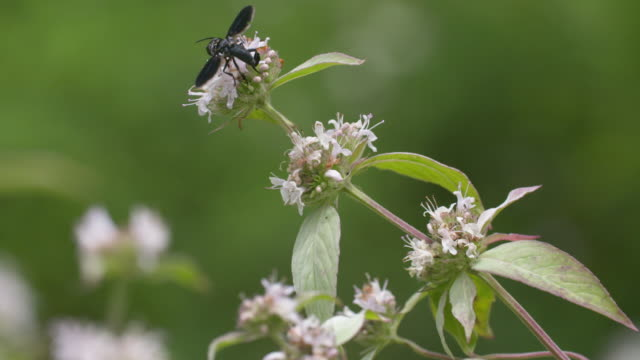 Large wasp lands & forages on mint flower, high speed