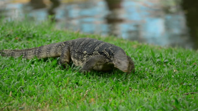 a large water monitor lizard roaming freely on the lawn - water monitor stock videos and b-roll footage