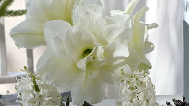 large white amaryllis zoom out from center - plant bulb stock videos & royalty-free footage