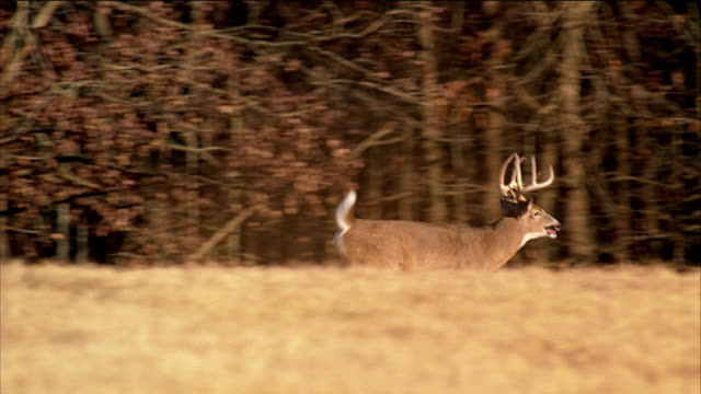A large white tailed buck deer with antlers runs bounds away from camera in a farmer's field.