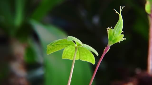 large wood sorrel spreading its leaf wide in uljin geumgang pine forest / uljin-gun, gyeongsangbuk-do, south korea - 茎点の映像素材/bロール