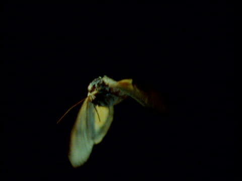 large yellow underwing moth flies towards camera - moth stock videos and b-roll footage