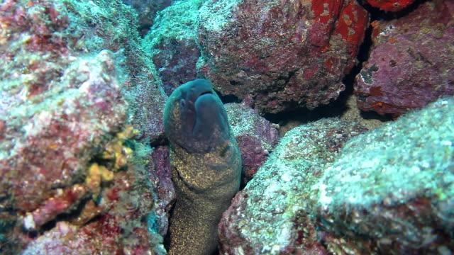 large yellowmargin moray eel nestled amongst the rocks. coiba national park panama. - yellow margined moray eel stock videos and b-roll footage