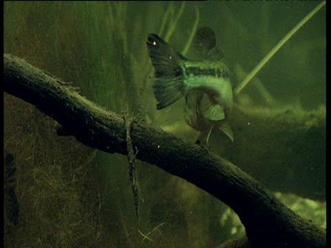 Largemouth Bass swallows little fish whole, Everglades