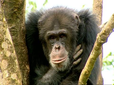 vídeos y material grabado en eventos de stock de ms of larger mother leaning on branch - chimpancé común