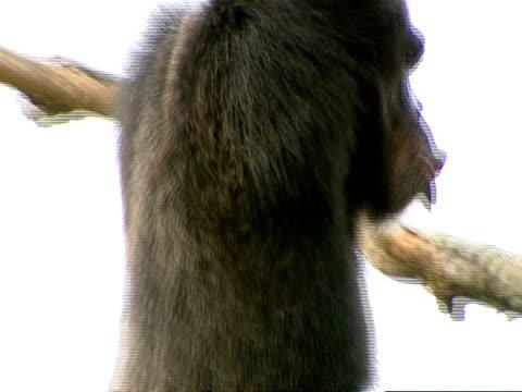 vídeos y material grabado en eventos de stock de ms of larger mother up in branches, climbs down branch, making noises - chimpancé común