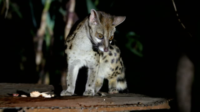 large-spotted genet at night, masai mara, kenya - one night stand stock videos & royalty-free footage