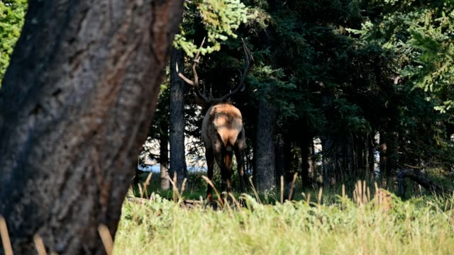 largest elk with antler or wapiti walking and yelling in the forest at national park - antler stock videos & royalty-free footage