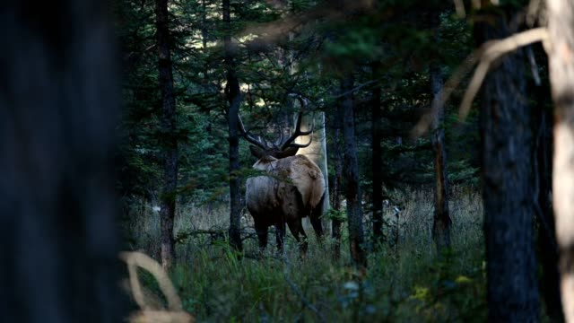 largest elk with horns walking in the forest at jasper national park - mammal stock videos & royalty-free footage