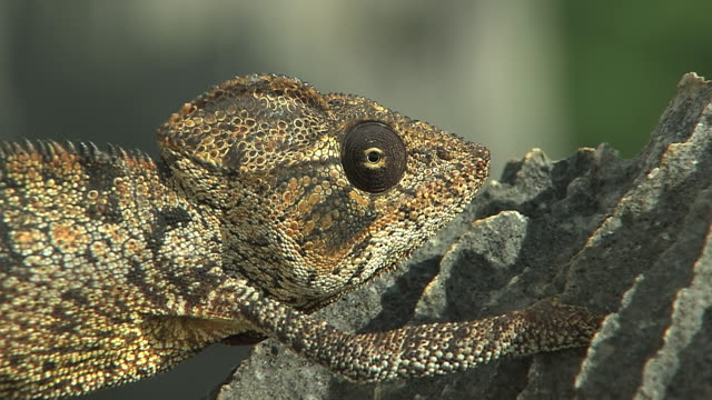 cu pan largest specie of chameleons  austelets chameleon moving along on branch at south western area of madagascar / madagascar  - animal eye stock videos & royalty-free footage