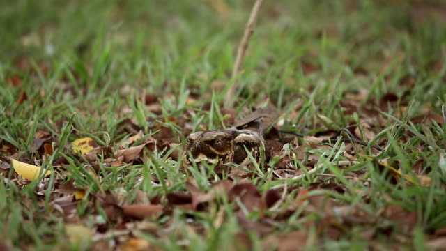large-tailed nightjar sleeping on the ground - disguise stock videos & royalty-free footage